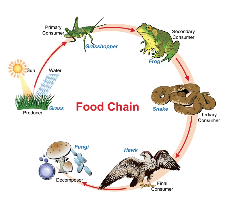 Food Web Construction Lessons Tes Teach
