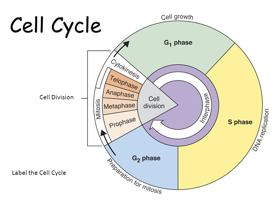The cell cycle thinglink ccuart Image collections