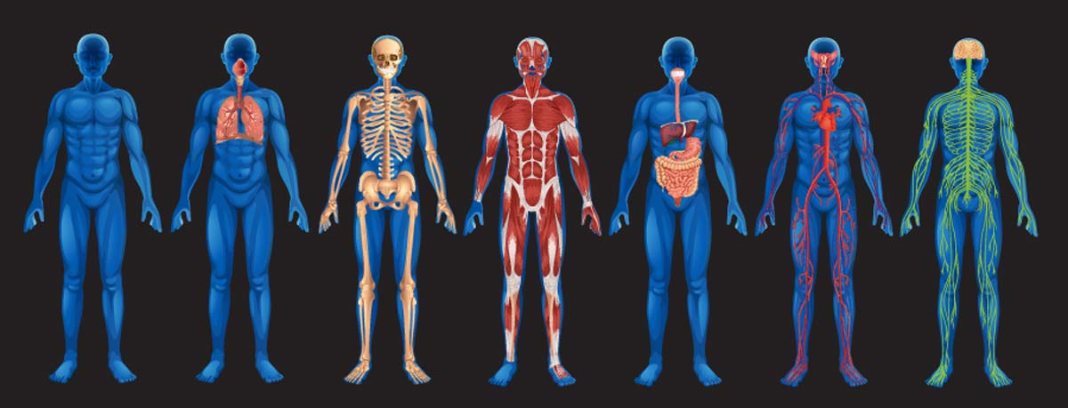 jackson's human body systems - thinglink, Human Body