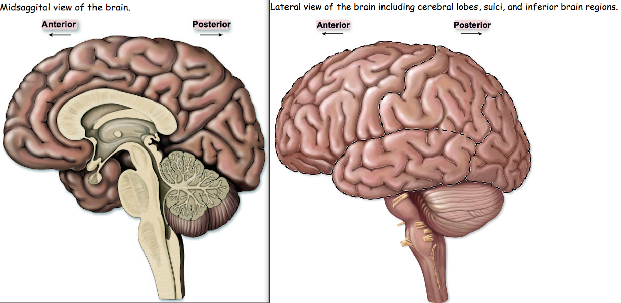 FRONTAL LOBE: Higher cognitive functions - concentration,... - ThingLink
