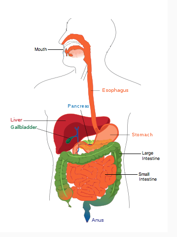 Mechanical vs. Chemical Digestion