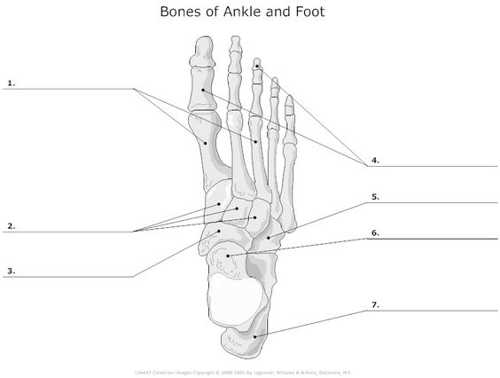 Blank Diagram Tarsal Bones - Block And Schematic Diagrams •