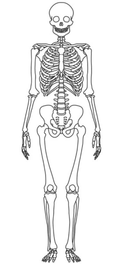 Luxury Human Skeleton Diagram Unlabeled Model - Anatomy And ...