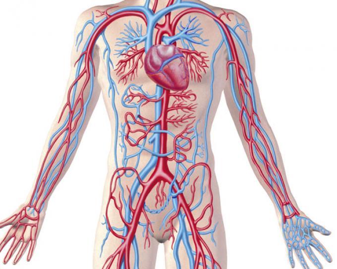 Arterias, corazon, venas, sangre - ThingLink