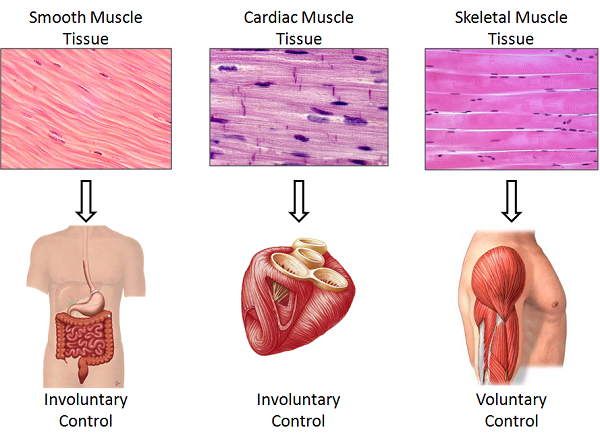 the smooth muscle in the uterus helps a woman to push out, Muscles