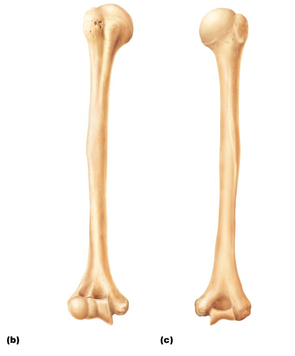 Figure 728 Humerus Bone