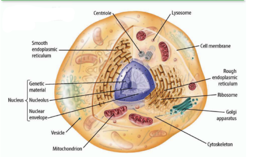 Essay @ Ribosome | Cytoplasmic Granules | Cell | Cell Biology