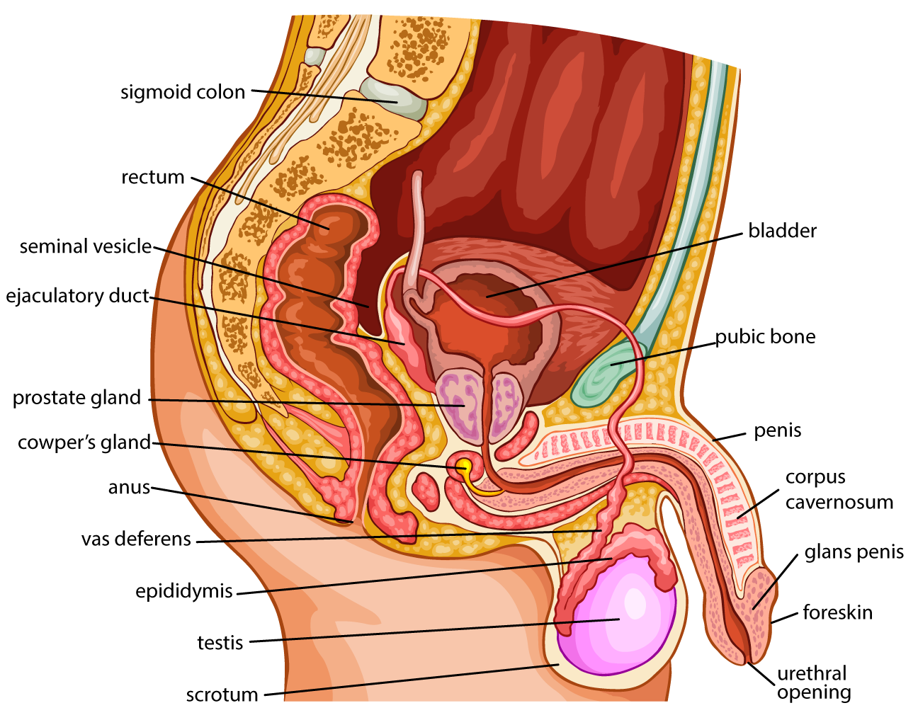 The Gross Structure Of The Male Reproductive System