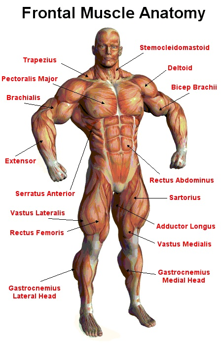 our muscular system – applecool, Muscles