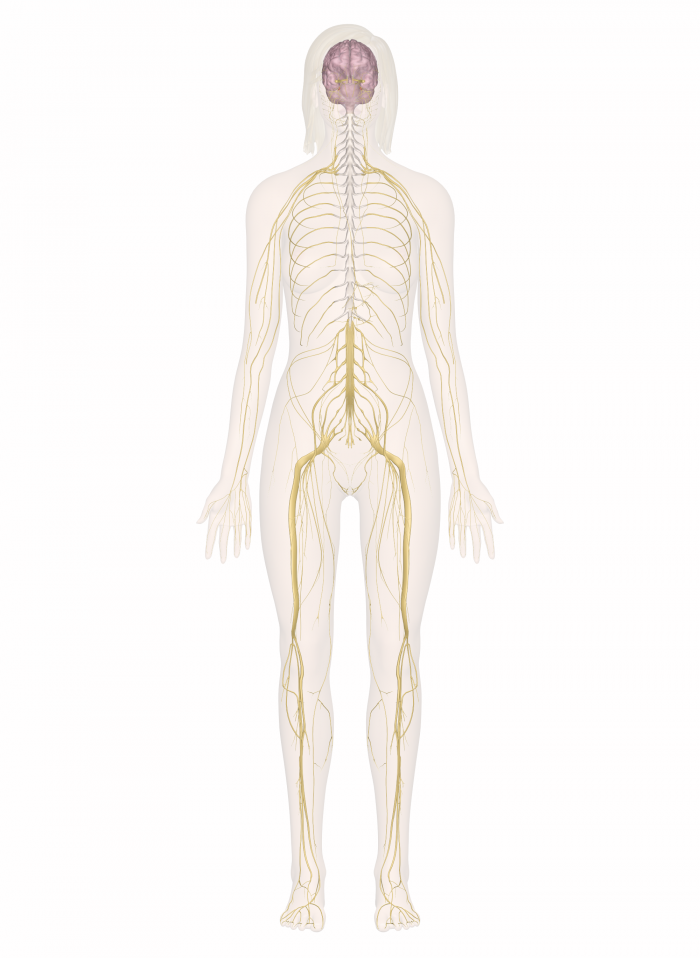 Diagram Of The Nervous System Thinglink