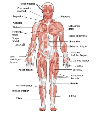 muscle diagram worksheets – lickclick, Muscles
