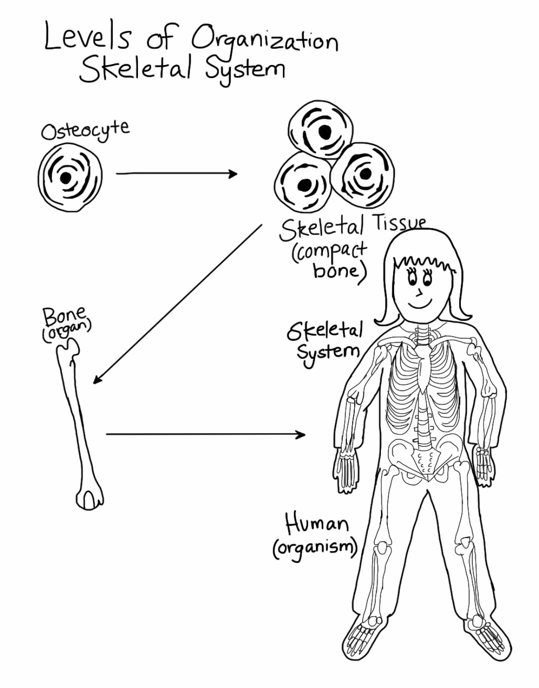 Skeletal System Levels Of Organization