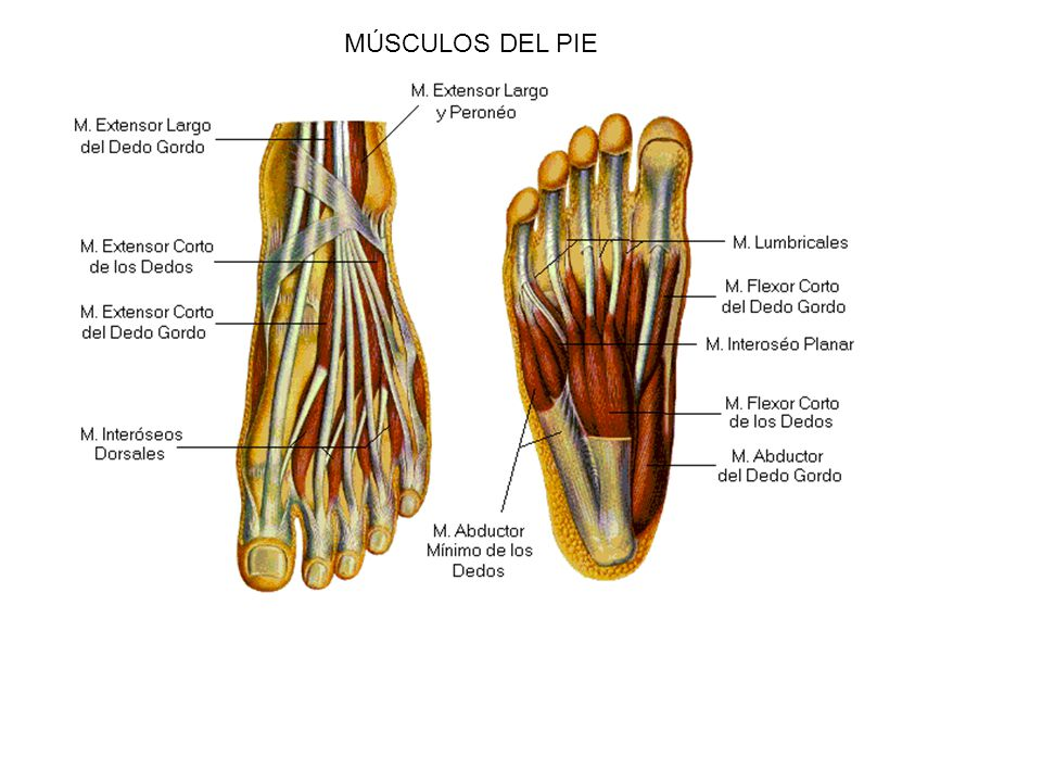 funcion de los musculos extensores del pie