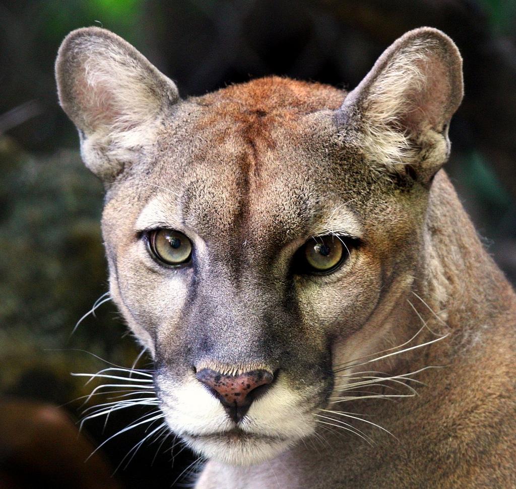 Endangered Animal: Florida Panther - ThingLink
