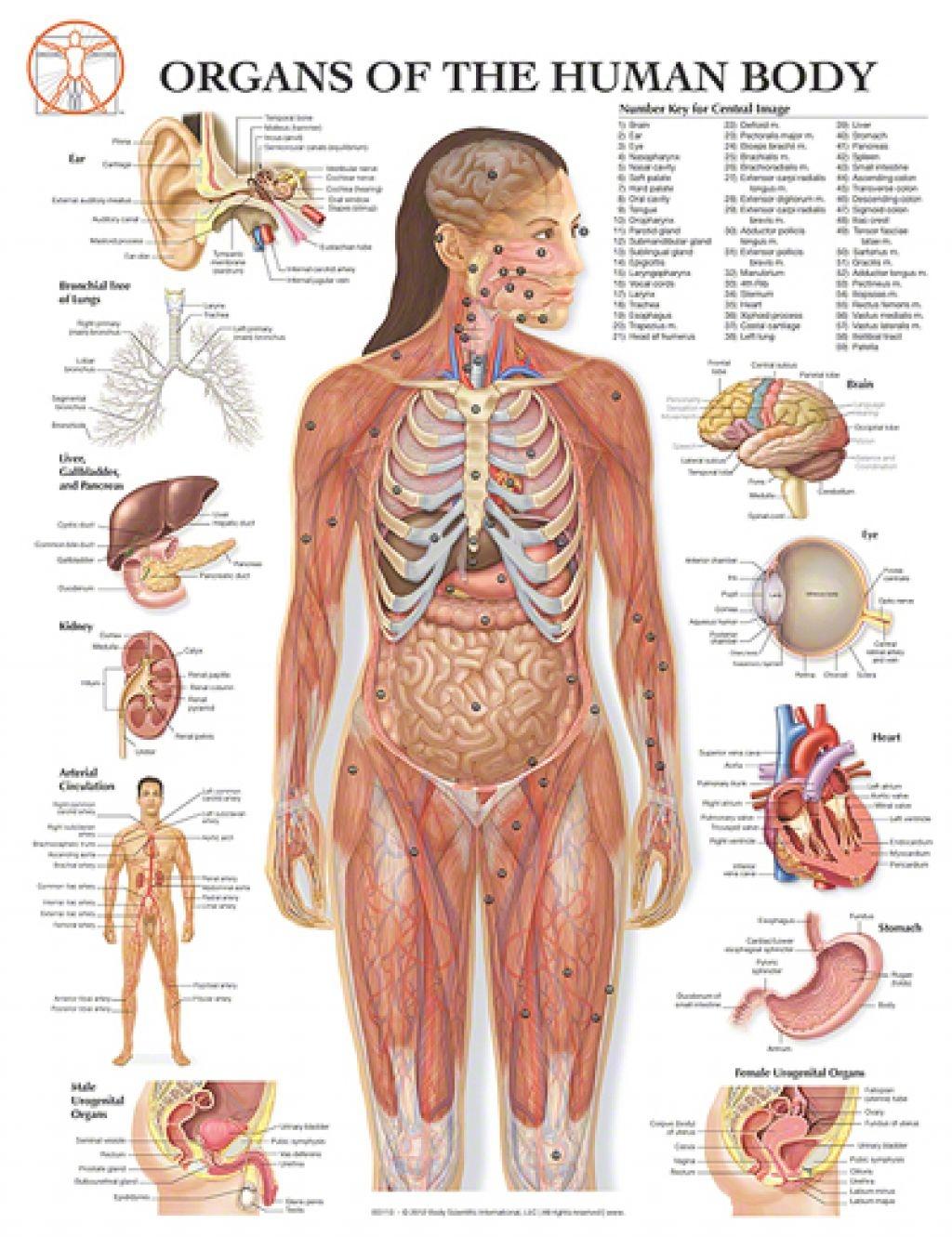 Human Body Wwa Research
