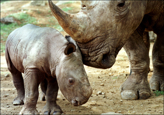 Javan Rhino Information Video - ThingLink