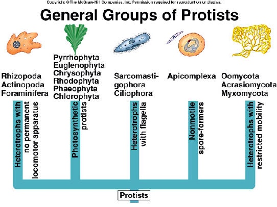 examples of protists