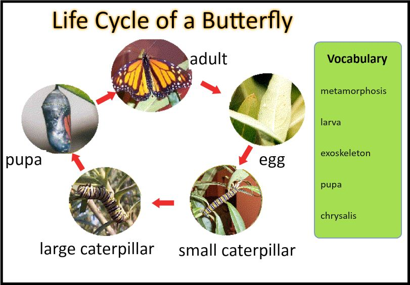 Butterfly Life Cycle - ThingLink