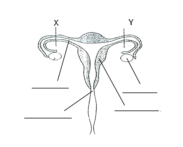 30 Blank Female Reproductive System Diagram - Wiring ...