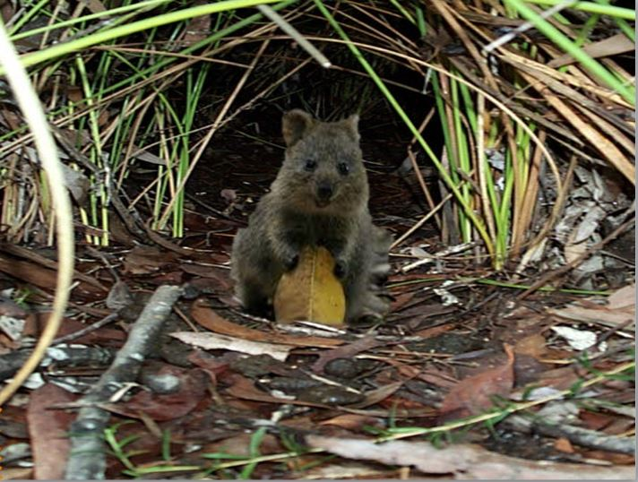 Quokka adaptions by James Ryan