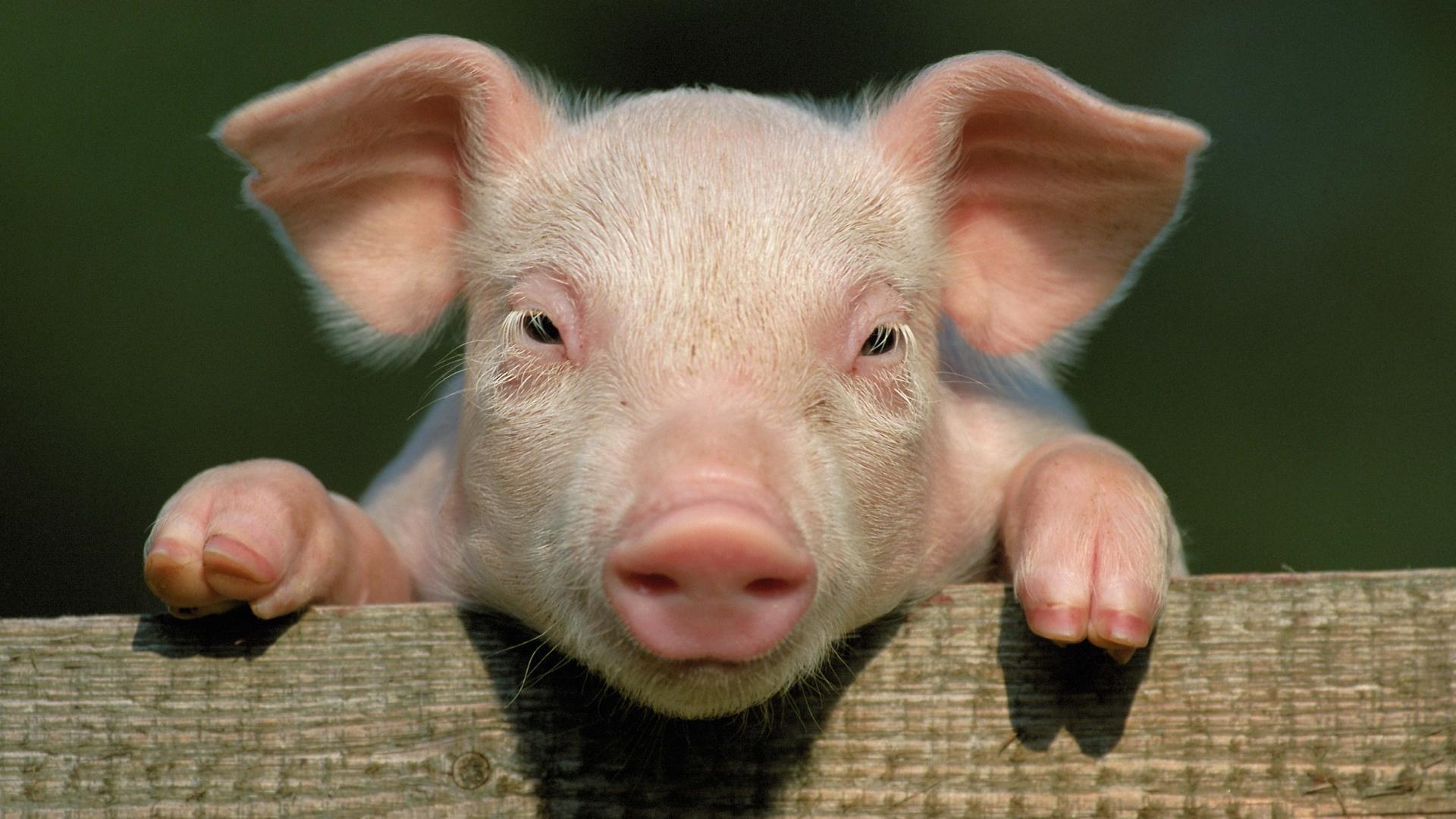 pig - ThingLink