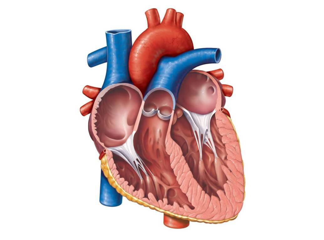 The Main Parts Of The Heart