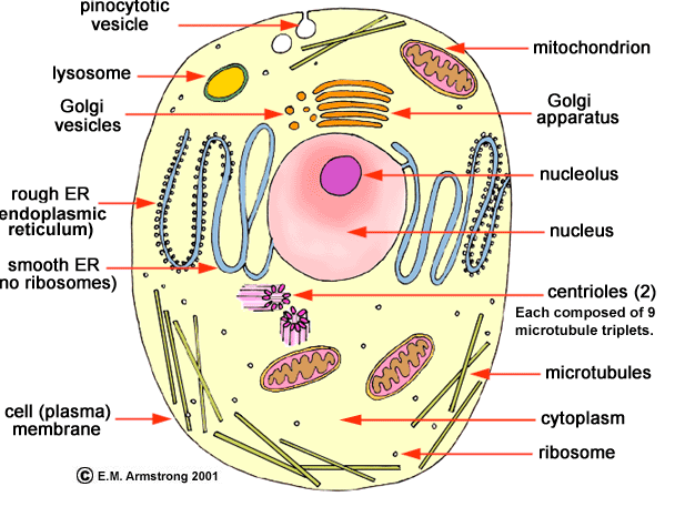animal cell analogy