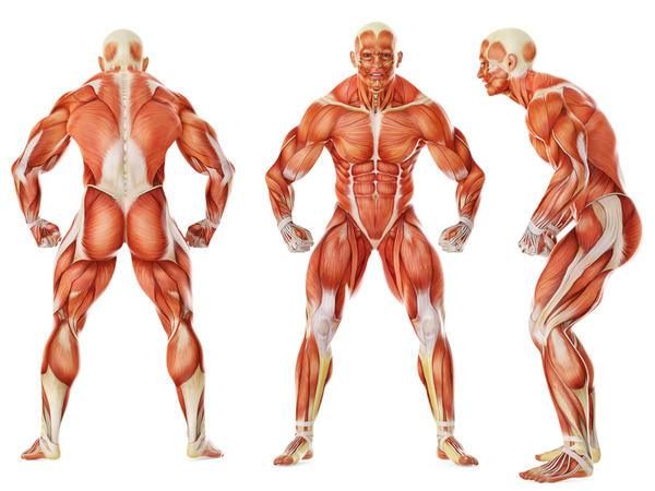 Muscular System Major Parts.