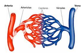 vasos sanguineos finos que unen las arterias y las venas