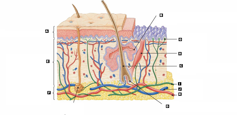 Integumentary System Diagram Without Labels - Block And Schematic ...