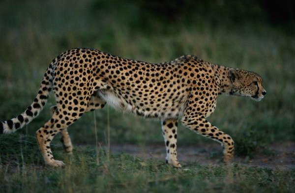 This Is A Diagram Of A Cheetah By Rogelio Thinglink