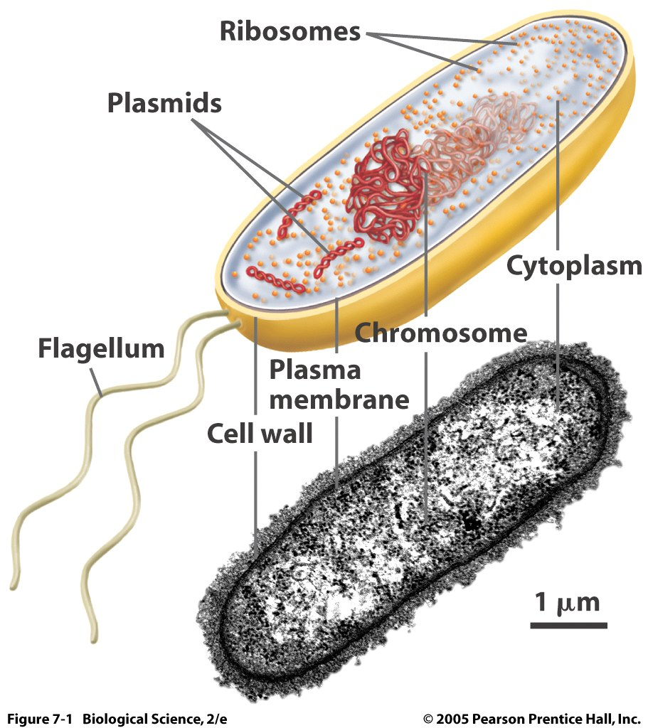 Prokaryotic Cell Structure Under Microscope