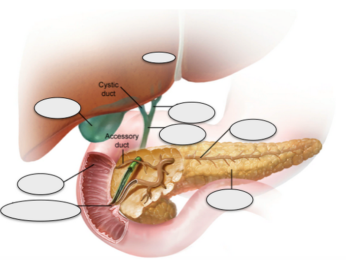 Liver Gall Bladder Common Hepatic Duct Common Bile Duc Thinglink
