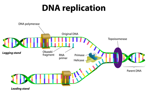 Dna Replication Process Diagram | Dna Replication Process Gaska Mainelycommerce Com
