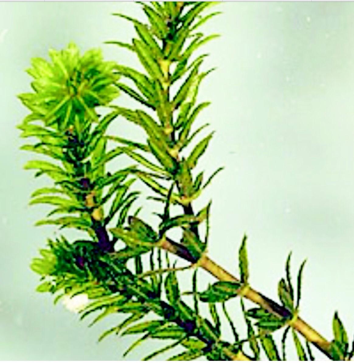 Hydrilla verticillata thinglink pooptronica