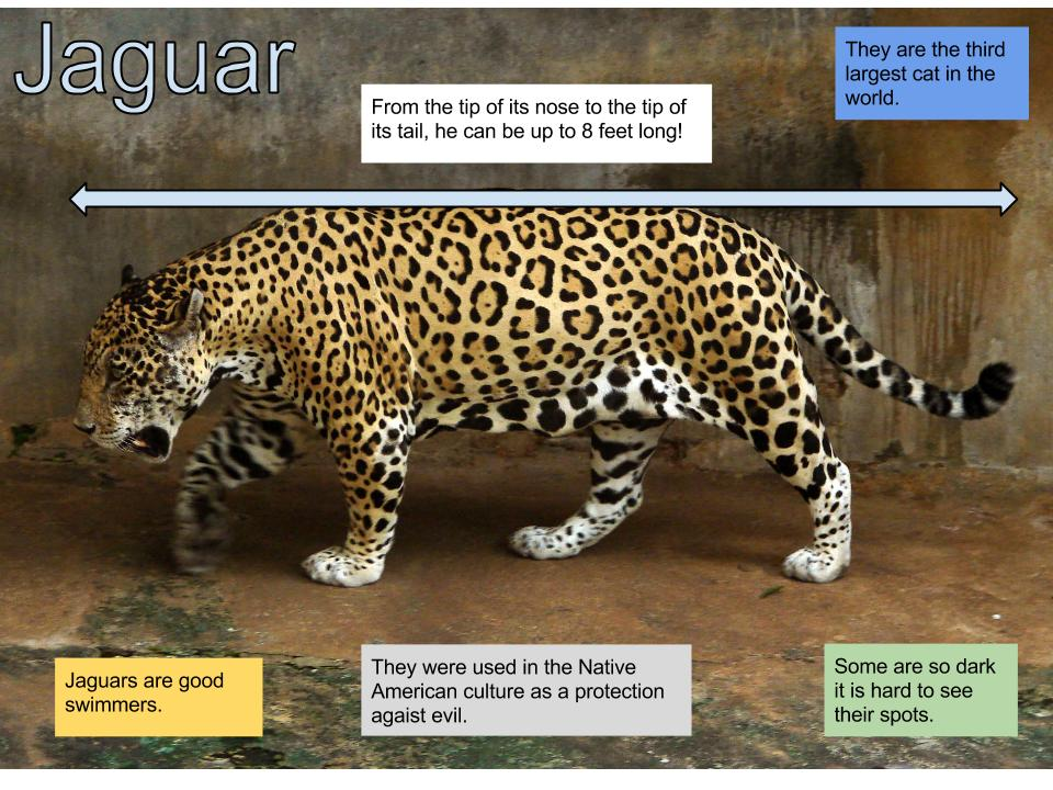 Attractive Facts About Jaguars From The San Diego Zoo, Jaguar Attack.