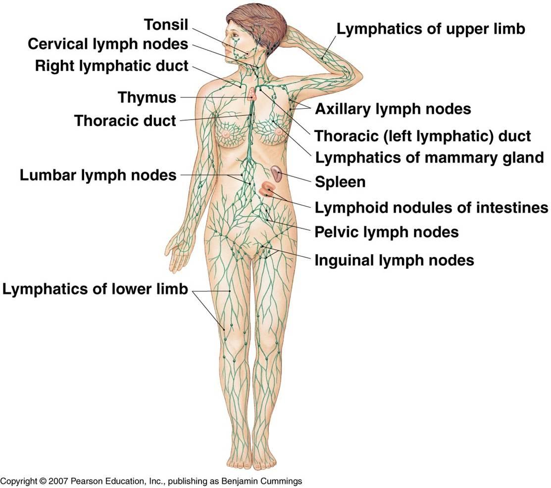 Lymphatic System Solomon Siu Thinglink
