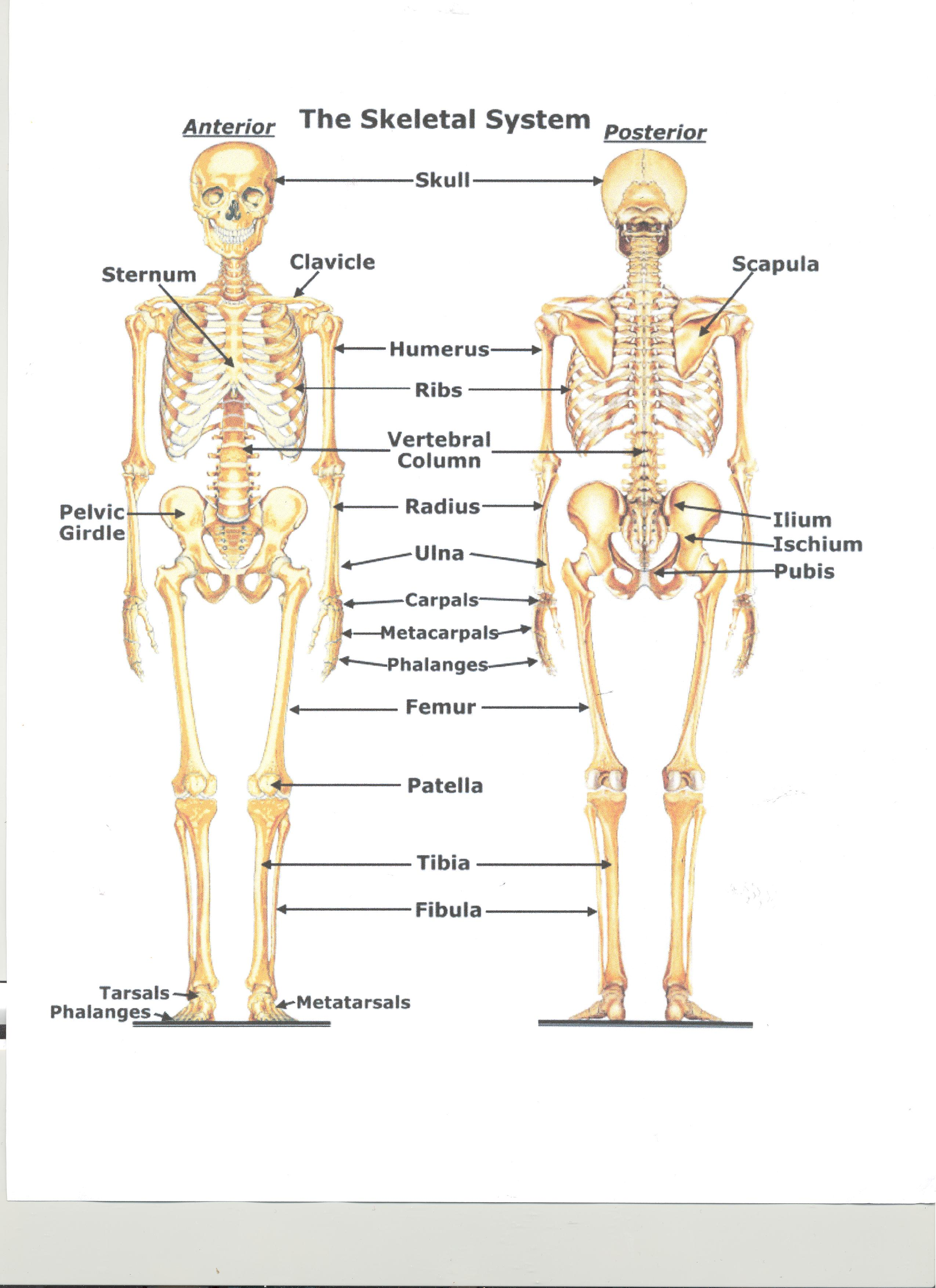 The Skeletal System By Brexten And Dominic
