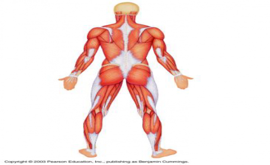 Famous Muscular System Without Labels Motif - Anatomy And Physiology ...