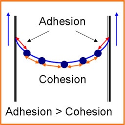 adhesion and cohesion The adhesion between the water and glass molecules is stronger than the cohesion between water molecules on the other hand, mercury forms a convex meniscus the curve formed by the liquid is lowest where the metal touches the glass and highest in the middle.