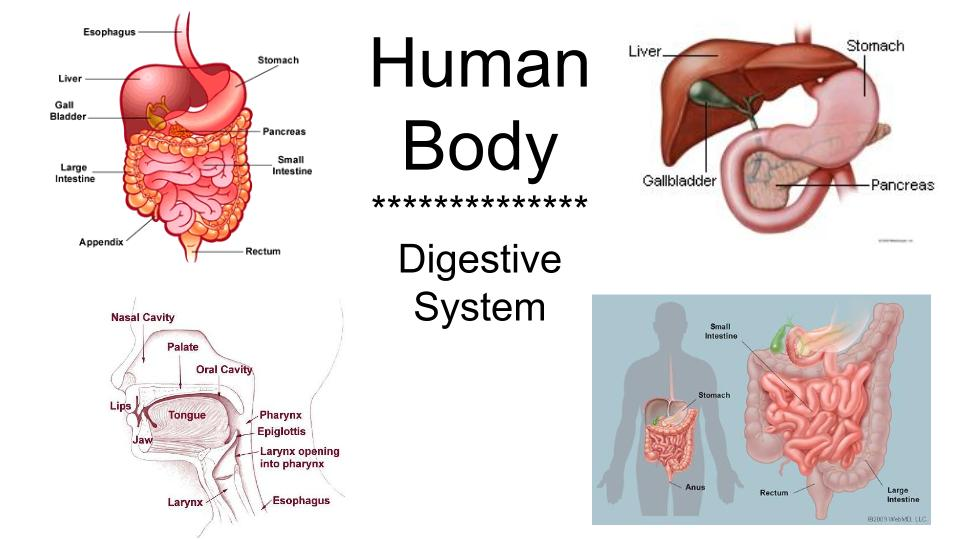 human body and digestion