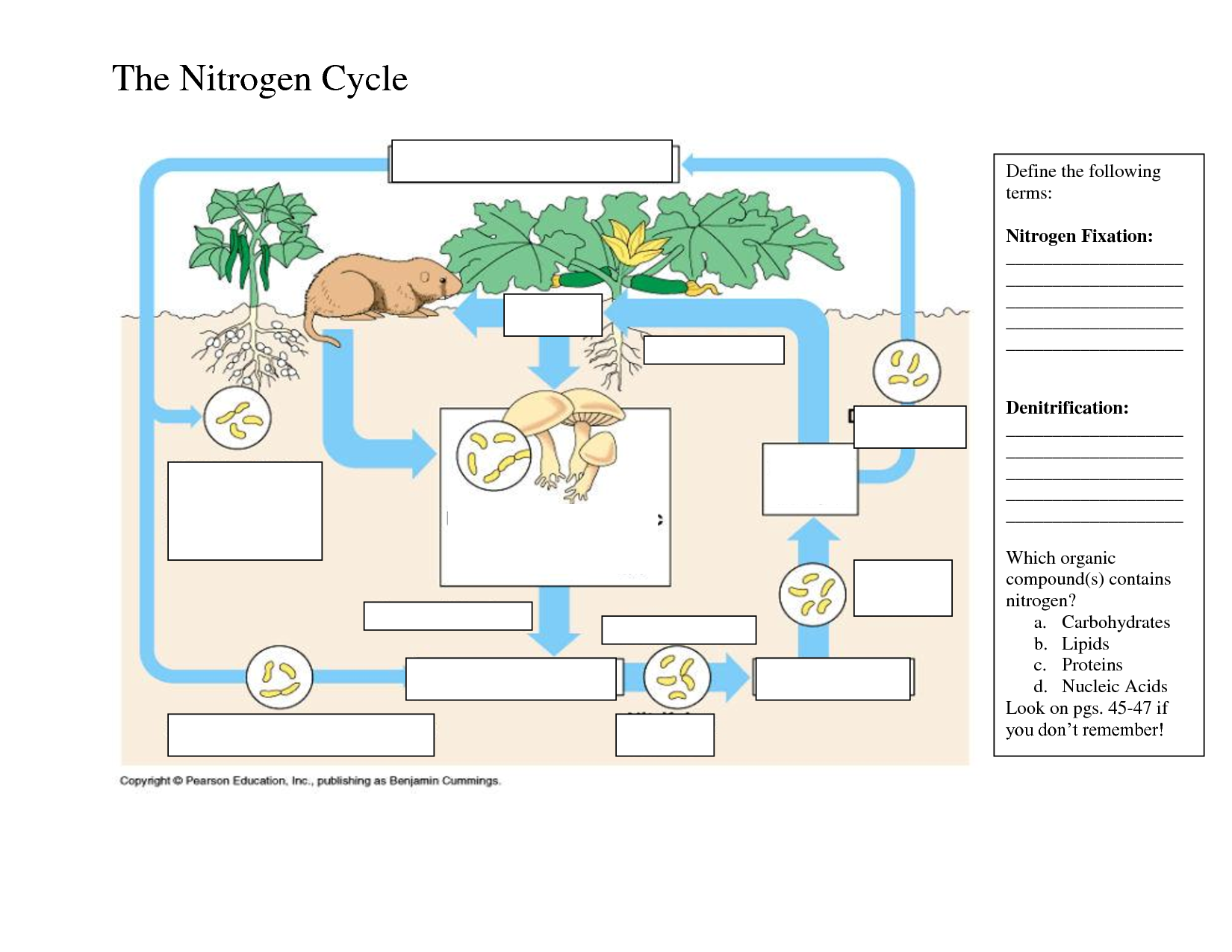 Worksheets Nitrogen Cycle Diagram Worksheet nitrogen cycle worksheets rringband samsungblueearth