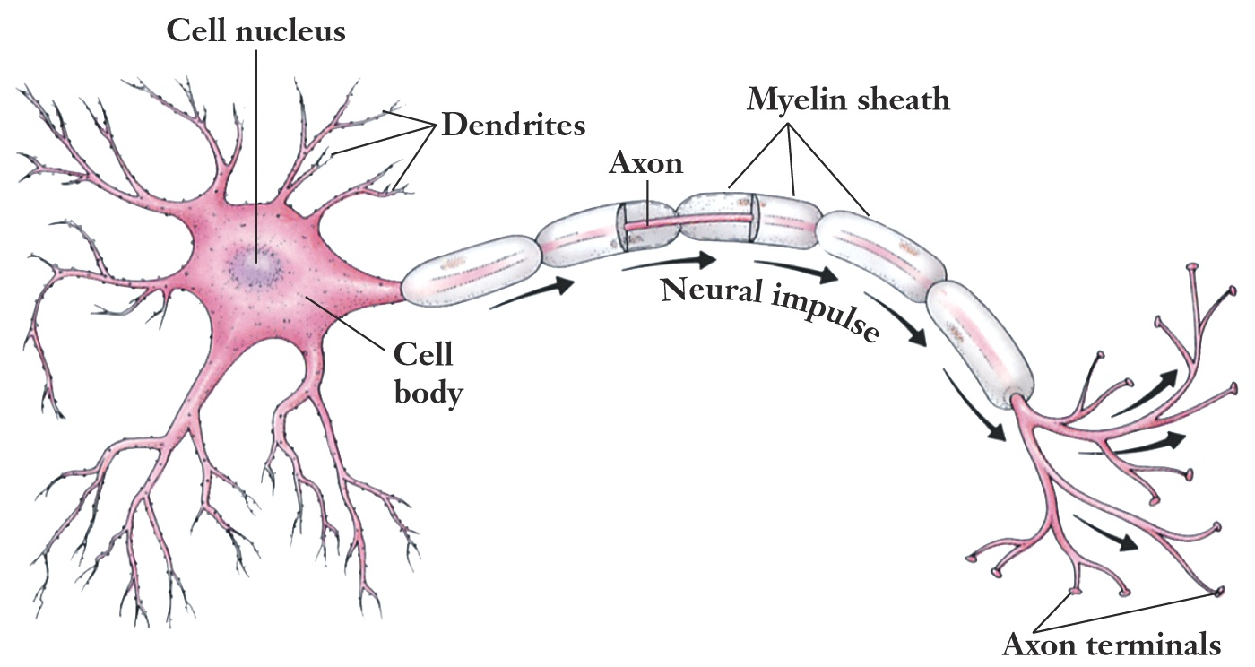 Related Keywords Suggestions For Motor Neuron