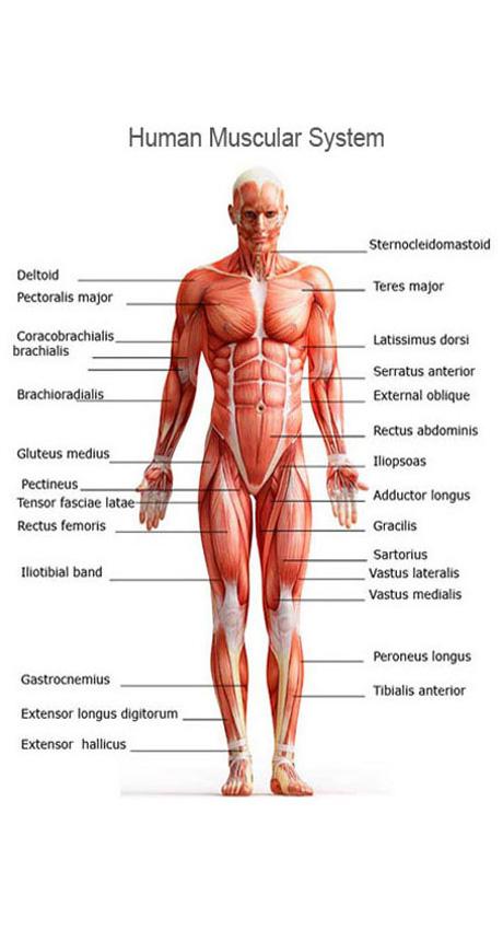 The Muscular System Byrahul Padiyachi
