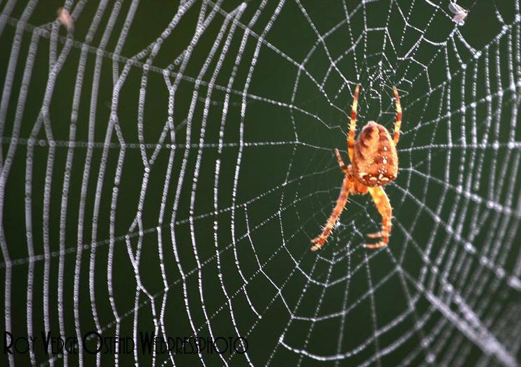 Kleurplaten Vogelspinnen.Spinnen