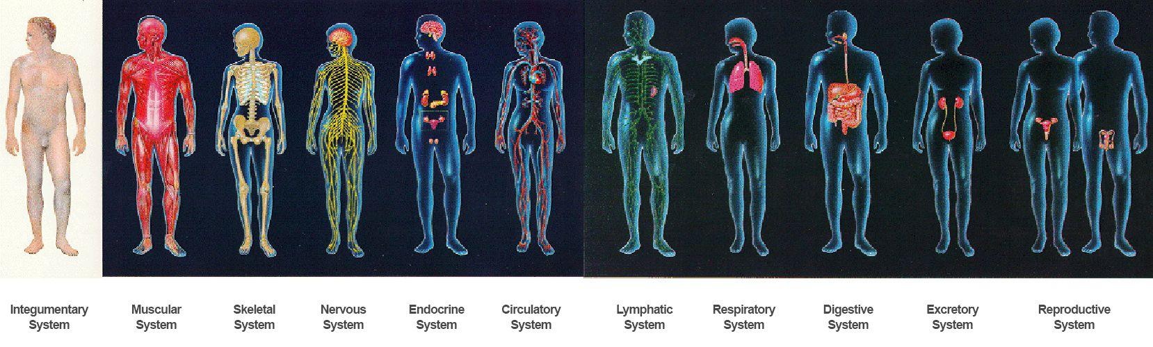 anatomy 11 systems of the body - Body & Anatomy