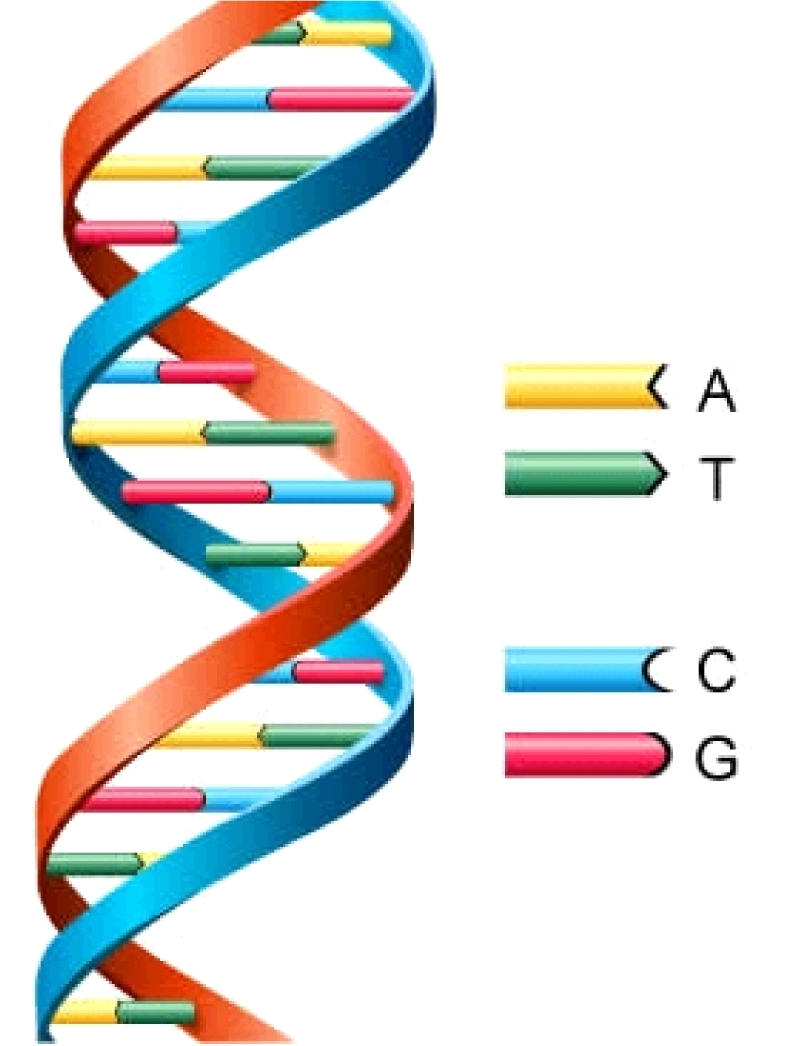 DNA structure test