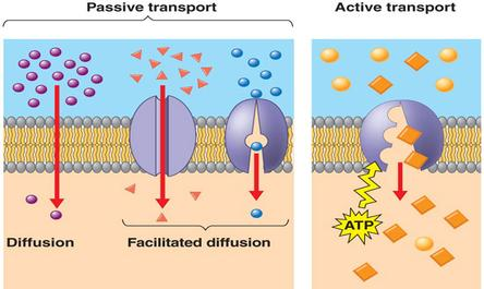 Passive and Active Transport - ThingLink