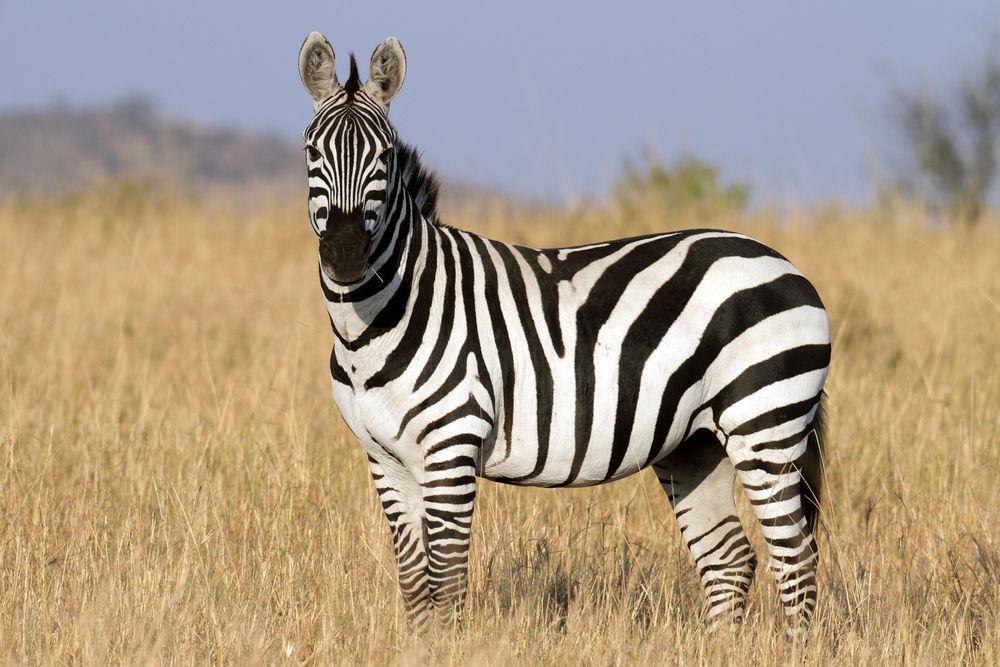 project animal trading cards 1 zebra