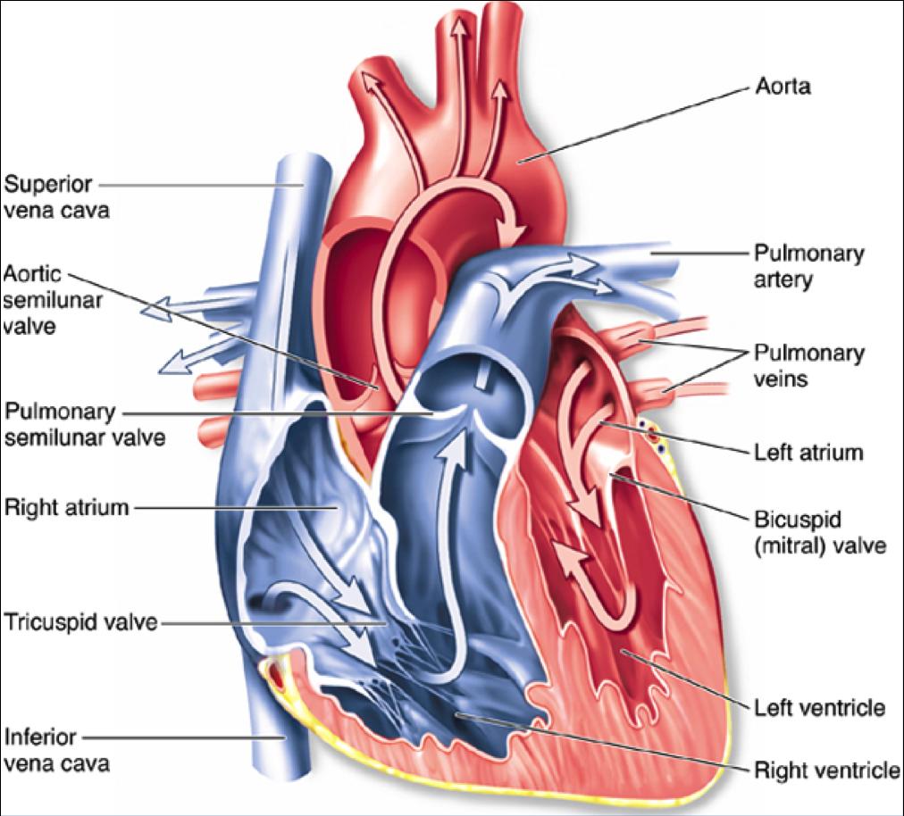 Heart Disease Diagram Labeled House Wiring Diagram Symbols